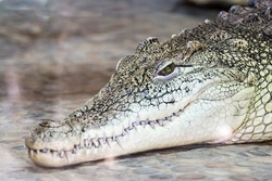 the big head of a crocodile with a toothy smile and an open eye