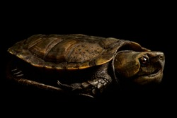 The Big-headed turtle (Platysternon megacephalum)