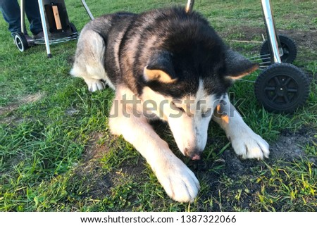 The big husky is lying on the grass and trying to pick something up from the ground. Camping with animals. The dog in the rays of the setting sun #1387322066