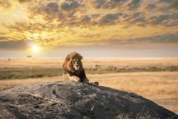 The big lion relaxed on the rock at Serengeti natural park