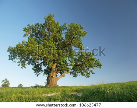 The big lonely oak  tree on a green meadow against the  blue sky with the small moon.