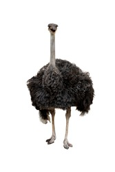 The big ostrich bird on white background have path