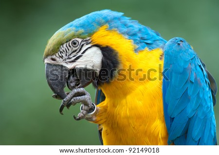 The big parrot a Macaw cleans the beak