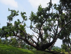 The big tree at MacRitchie Reservoir which is Singapore's oldest reservoir completed in 1868