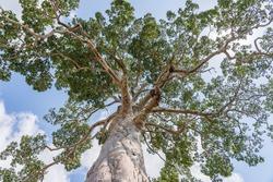 The big tropical tree with sky background, view from below. Scientific name Dipterocarpus alatus or Yang Na Yai tree. Island Koh Phangan, Thailand