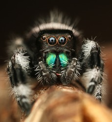 the biggest jumping spider