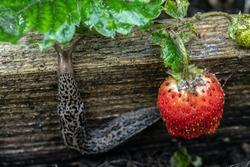 The biggest leopard slug crawls away after eating strawberries. Selective focus.