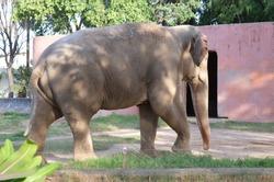 The biggest mammal of the terrestrial mammals