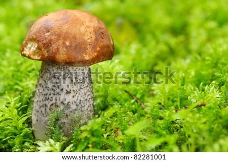The Birch bolete (Leccinum scabrum) - edible mushroom. It is used also in mixed mushroom dishes, fried or steamed.