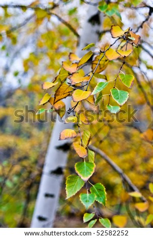 the birch tree with yellow and green leaves in autumn, with small depth of field