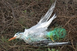 The bird died. Seagull tangled in the fishing line