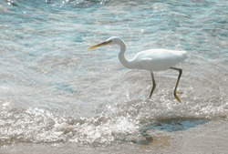 the bird is walking along the shore