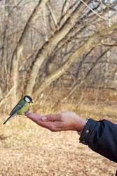 The bird sits on the man's arm for stories. Titmouse eating seeds from the hand with copy space. Feeding birds in the Park.
