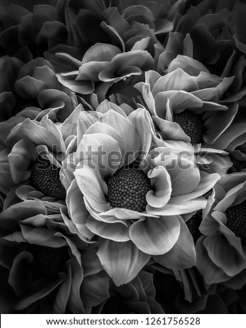 The black and white image of flower.picture sadly and mysterious.abstract background. Chrysanthemum of petals pattern and texture.Dendranthemum grandifflora