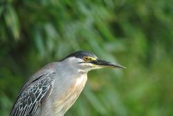 the black capped night heron bird