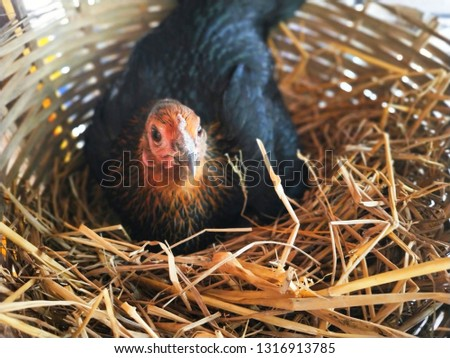 The black chicken reeds eggs in the basket.