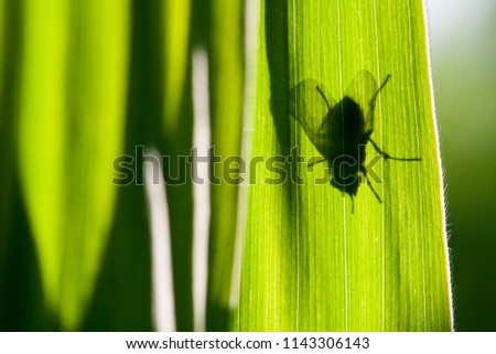 The black contours of a fly shimmer through a green corn leaf in backlight. #1143306143