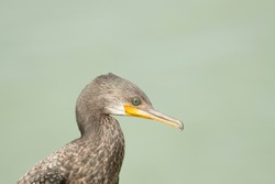 The black cormorant bird head with long beak