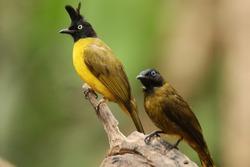 The Black-crested Bulbul, Bird of Thailand