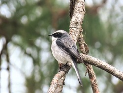 The black-crested tit or Coal tit (Periparus ater melanolophus) found in boreal and temperate forests in the northern parts of the Indian Subcontinent, mainly in the Himalayas.
