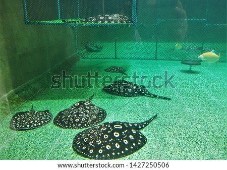 The Black Diamond stingray (Leopoldi or Polka Dot stingray) are swimming on bottom of pond.  Potamotrygon leopoldi are popular pets in freshwater aquarium.
