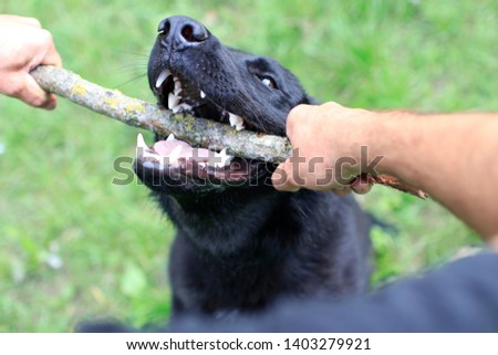 The black dog playing with a stick, dog training #1403279921