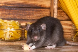 The black fluffy rat is a symbol of 2020. The animal is sitting in a wooden house. On the shelves are banks with pasta and cereals. A rat chewing on cheese.