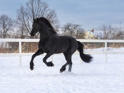 The black Frisian mare gallops freely in the levada on the farm