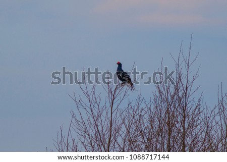 The black grouse flies against the background of the spring forest.