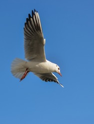 The black-headed gull (Chroicocephalus ridibundus) (Larus ridibundus). Bird in flight with its wings spread wide, Black Sea