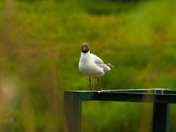 The black-headed gull (Chroicocephalus ridibundus). Seagull on a railing