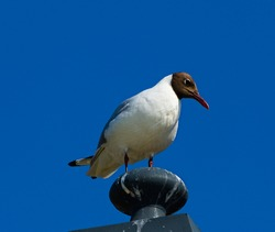 The black-headed gull (Chroicocephalus ridibundus). Seagull on a sky background