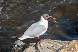 The black-headed gull stands on the river bank with a fish in its beak, The black-headed gull, lat. Chroicocephalus ridibundus is a small gull from the genus Chroicocephalus of the gull family Laridae