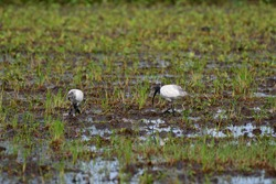 The  black-headed ibis (Threskiornis melanocephalus), also known as the Oriental white ibis, and black-necked ibis, is a species of wading bird of the ibis family Threskiornithidae.Bird in  Thailand.