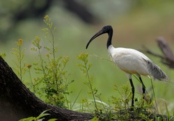 The black-headed ibis (Threskiornis melanocephalus), also known as the Oriental white ibis and Indian white ibis, is a wading bird which breeds in the South- and Southeast Asia from India to the west