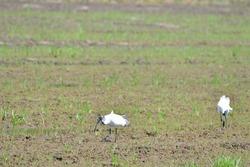 The black-headed ibis (Threskiornis melanocephalus), also known as the Oriental white ibis, Indian white ibis, and black-necked ibis,White water bird in Thailand.Bird in the rice field.