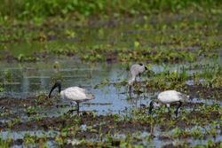 The black-headed ibis (Threskiornis melanocephalus), also known as the Oriental white ibis, Indian white ibis, and black-necked ibis,bird in Thailand
