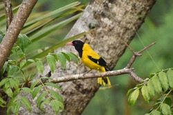 The Black-hooded oriole, a bright colour yellow bird crowing on a June plum tree.