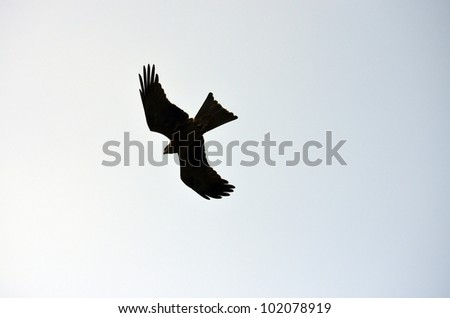 the black kite is flying over head