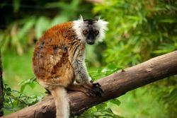The black lemur (Eulemur macaco) is a species of lemur from the family Lemuridae. The image is taken at Bioparco di Roma