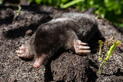 The black mole lies on a pile of of excavated soil. Selective focus.