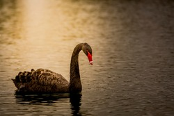 The black night Swan