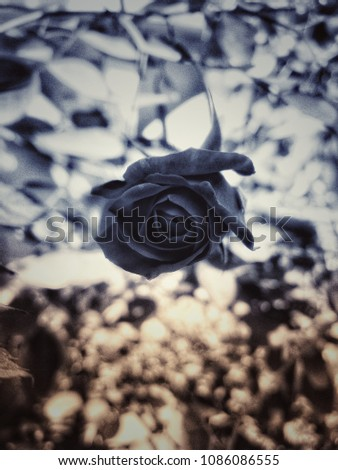 the black rose edited pic click by simple camera
