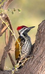 The black-rumped flameback, also known as the lesser golden-backed woodpecker or lesser goldenback, is a woodpecker found widely distributed in the Indian subcontinent