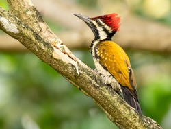 Theblack-rumped flameback(Dinopium benghalense), also known as thelesser golden-backed woodpeckerorlesser goldenback, is awoodpeckerfound widely distributed in theIndian subcontinent.