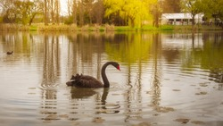 The Black Swan (Cygnus atratus) is a large waterbird, a species of swan native to southeast and southwest regions of Australia. Here in Canberra, Australian Capital Territory, Australia.
