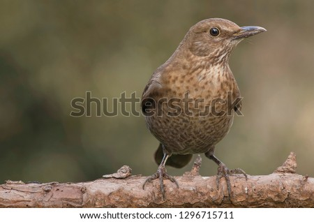 The blackbird days. Mimetic female blackbird (Turdus merula) on a branch in the garden.