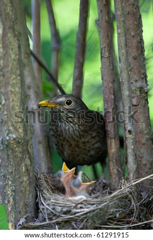 The Blackbird (urdus merula) at a nest with hungry baby birds.