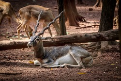 The blackbuck (Antilope cervicapra), also known as the Indian antelope, is an antelope found in India, Nepal, and Pakistan. The blackbuck is the sole extant member of the genus Antilope.