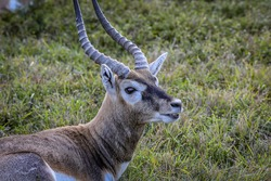 The blackbuck (Antilope cervicapra), also known as the Indian antelope, is an antelope native to India and Nepal. The blackbuck is a moderately sized antelope.